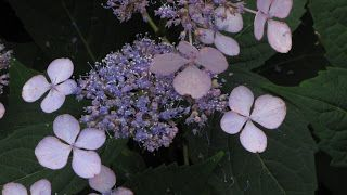Hydrangeas, Drama Queens of the Woodland Garden