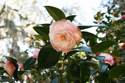Clippings: Camellia Gardens and Festivals