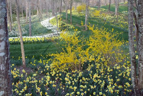 Ball Ground:  Gibbs Gardens Daffodil Display