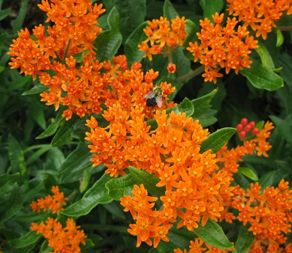 Clippings: #Perennial #Plant of the Year: Butterfly Weed