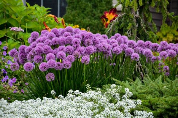 Clippings: Allium 'Milleniunm' 2018 Perennial Plant of the Year