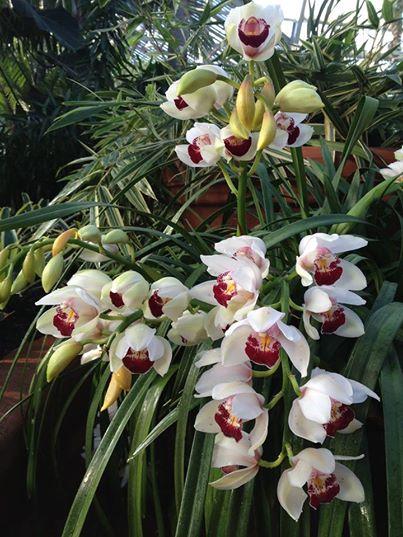 Orchids_Garfield Park Conservatory