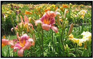 daylilies Huntsville
