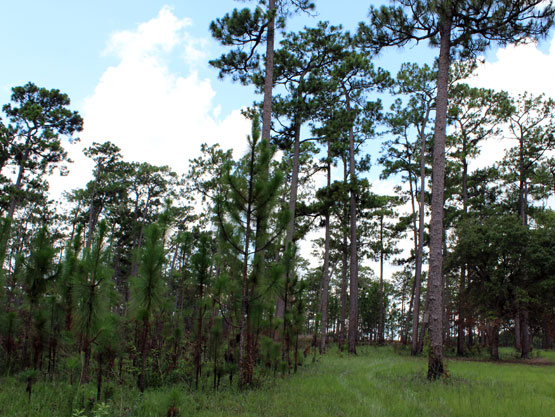 longleaf-forest1_mobile