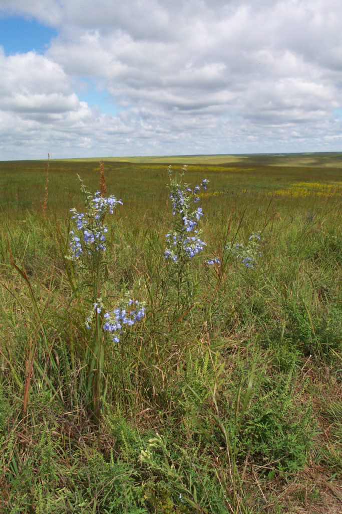Fall wildflowers in the tallgrass prairie