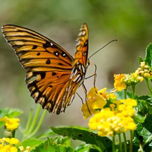 lantana-with-monarch